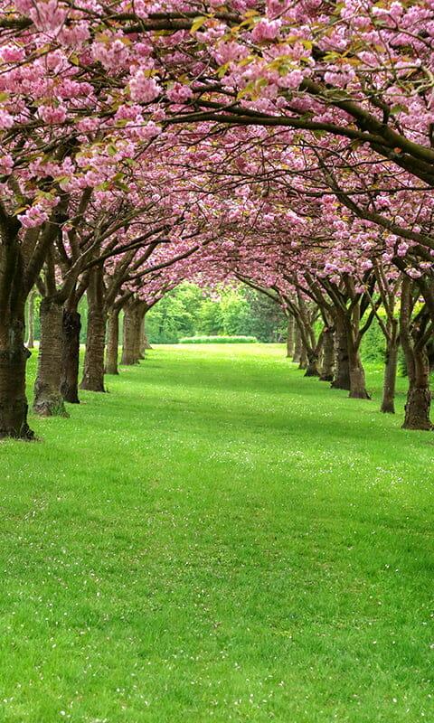 Blossom Tree Path